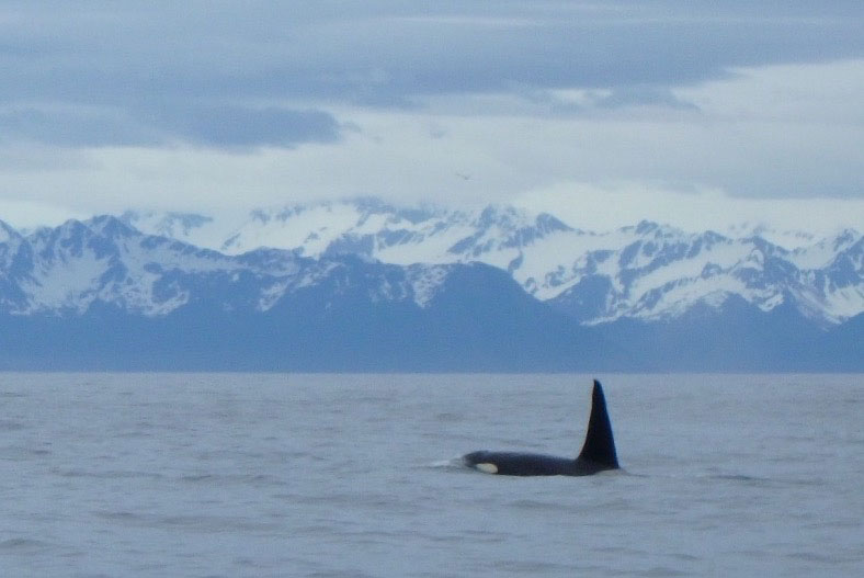 Orca whale surfacing in the waters of Alaska.